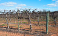 Row of Hedged Chardonnay Vines. Royalty Free Stock Photo