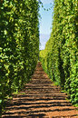 Row of Hop Vines Royalty Free Stock Photo