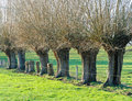 Row of knotted willows Royalty Free Stock Photos