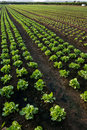 Row of lettuce Royalty Free Stock Photos