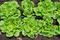 Row of lettuces grow in a farm Royalty Free Stock Photo