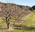 Row of old, naked apple trees in spring, growing on grass land Royalty Free Stock Photo
