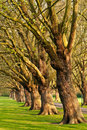 Row of old trees in park Royalty Free Stock Photo