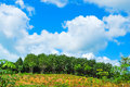 Row of para rubber tree in field Royalty Free Stock Images
