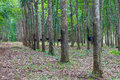 Row of para rubber tree in thailand Royalty Free Stock Photography