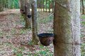 Row of para rubber tree in thailand Stock Image