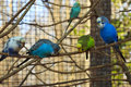 Row Of Parakeets