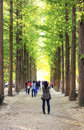 Row of pine trees at Nami island, Korea Royalty Free Stock Photo