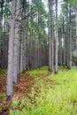 Row Of Pine Trees Desktop Wallpaper Royalty Free Stock Photo