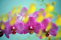 Row of pink orchid blooms overlayed with unsharp yellow orchid blooms and blue background Stock Photography