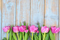 Row of pink tulips on a blue grey knotted old wooden background with empty space layout Royalty Free Stock Photo