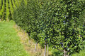 Row of plum trees in an orchard Royalty Free Stock Images