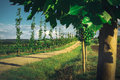Row Of Poplar Trees With Vineyards In Foreground Royalty Free Stock Photo