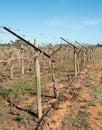 Row of shaw swing arm trellis in vineyard a close up view grape vines with mildura australia Royalty Free Stock Photography