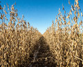 Row of soybeans Royalty Free Stock Photo