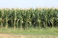 Row of tall corn stalks ready for harvest Royalty Free Stock Photo