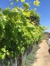 Row of Tall Grape Vines Royalty Free Stock Photo
