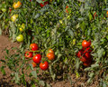 Row of tomato plants in the field Royalty Free Stock Photo