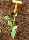 Row of transplanted seedlings Royalty Free Stock Images