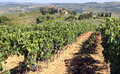 Row of vines with grapes in the countryside in late summer Royalty Free Stock Photo