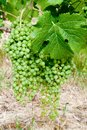 row of vines with green grapes in the process of ripening Royalty Free Stock Photo