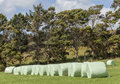 The row of white plastic wrapped silage on green farm in harvest season countryside new zealand Stock Image