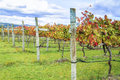 Row of wine grape vines in Autumn Royalty Free Stock Photo