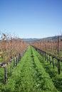 Row of winery grape vines at California winery Royalty Free Stock Photo