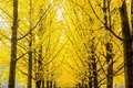 Row of yellow ginkgo biloba tree Maidenhair Tree, Leaves of the ginkgo turn a golden yellow in Nami Korea Royalty Free Stock Photo