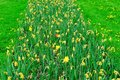 Row of yellow tulips wilting with surviving red blooming tulip Royalty Free Stock Photo