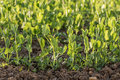 Row young Peas Plant in a vegetable bed of Garden at Sunset Royalty Free Stock Photo