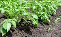Row of young potato plants Royalty Free Stock Photo