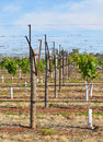 Row of young vines and v trellis a in grow tubes supported by the wires on the grow in a vineyard Stock Photo