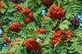 Rowan berries Stock Photography