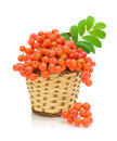 Rowan berries in a basket on a white background Royalty Free Stock Image