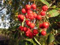 Rowan berries bunch of ripe on autumn Stock Photography