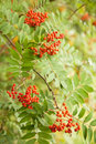 Rowan berries hanging from tree red orange Stock Photo