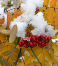 Rowan berries and leaves in snow Stock Photo