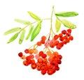Rowan Berries, Twig. Watercolor Painting. Royalty Free Stock Photo