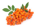 Rowan berry white Stock Images