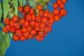 Rowan berry wild for jam and liquor Royalty Free Stock Image