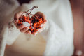 Rowan in the hands of the bride Royalty Free Stock Photo