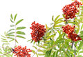 Rowan-tree with bright berries isolated on white Royalty Free Stock Photography