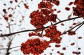 rowan tree red berries branch forest winter snow cold weather blur background Royalty Free Stock Photo