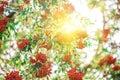Rowan tree with rowanberry and sunrise Royalty Free Stock Photos
