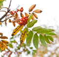Rowanberry Royalty Free Stock Photo