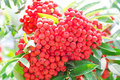 Rowanberry branch photo of the red ripe Stock Photography