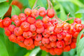 Rowanberry branch photo of the red ripe Stock Images