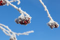 Rowanberry on hoarfrost covered branches Stock Photography