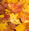 Rowanberry leaves autumn yellow on wooden table Stock Photography